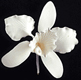 Medium White Cattleya Gum Paste Flower